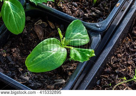 Seedlings Of Cucumber In A Pot Of Potting Soil, Unfavorable Conditions Led To The Wilting Of These L