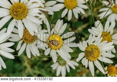 Detail Of Daisy Flowers. Spring Flower Close Up.wonderful Fabulous Daisies On A Meadow. Spring Blurr