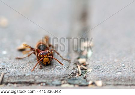 Close-up Of An European Hornet Resting On The Pavement. Vespa Crabro.