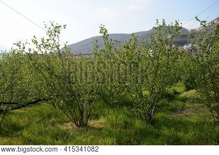 View Of Hazel Trees In Giffoni Valle Piana,southern Italy,april 1,2021.