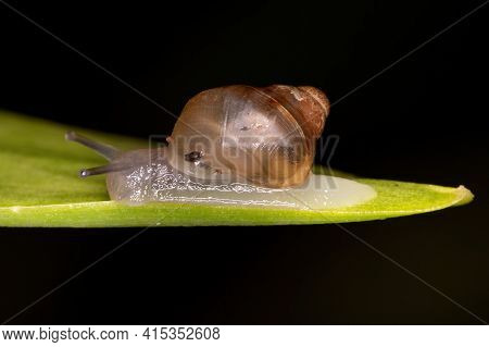 Small Euthyneuran Gastropod