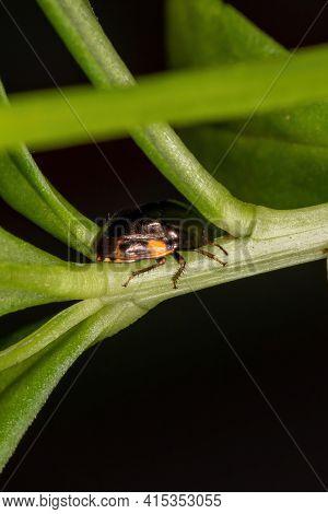 Adult Ebony Bug