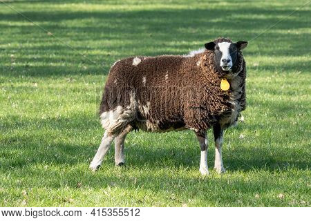 Dutch Brown Sheep Stands In Fresh Green Grass On The Field In The Spring With Sun In The Back