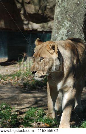 African Lion (panthera Leo) Is An Apex And Keystone Predator. Lions Inhabit  Grasslands And Savannas