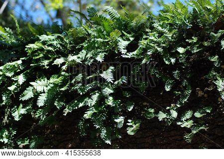 Aerial Fern Spread Across Large Live Oak Branch. A Fern (polypodiopsida Or Polypodiophyta) Is A Memb