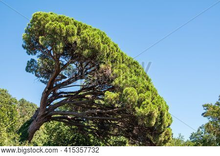 Green Pine Tree With Long Needles On A Background Of Blue Sky. Freshness, Nature, Concept. Pinus Pin