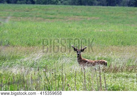 A Young Buck With Velvet Antlers Stands In A Field