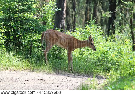 A Young Buck With Tiny Velvet Antlers Stands At The Edge Of A Forest
