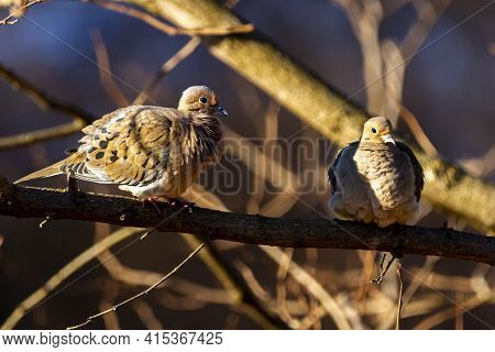 A Pair Of Mourning Doves (zenaida Macroura) Perching On A Tree Branch. They Show Flirting Gestures A