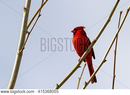 Close Up Image Of A Male Northern Cardinal (cardinalis Cardinalis) Perching On Naked Tree Branch In