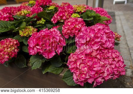 Close Up Image Of Hydrangea Macrophyllla Flowers On A Flower Bed At An Outdoor Location. The Serrate