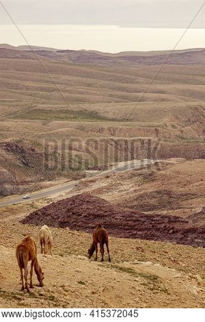 Three Dromedary Camels Are Grazing Alone On A Hilltop Overlooking The Biblical Dead Sea. There Are S