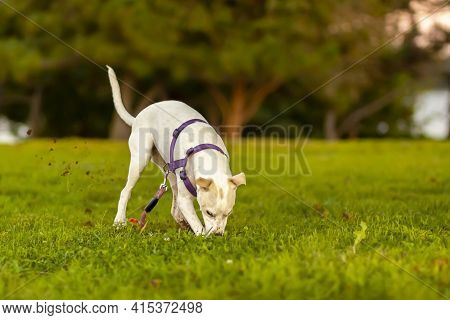 A Cute Little Terrier Puppy With White Furs And Light Brown Spots Is Rapidly Digging The Grass Field