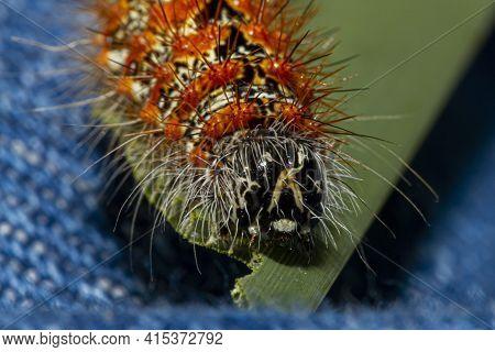 Closeup Macro Lens Head Shot Image Of Lymantria Dispar Dispar (gypsy Moth Caterpillar) That Has Whit