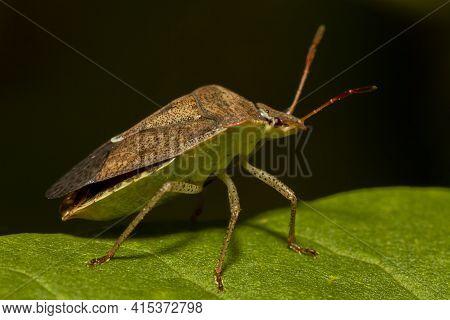 Macro Image Of A Southern Green Stink Bug (nezara Viridula) On A Green  Leaf. It Has Brown Autumn Co