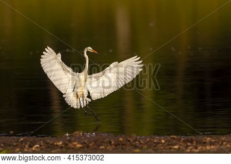 Isolated Image Of A Great Egret (adrea Alba) A.k.a Great White Heron Landing On Water At Sunset From