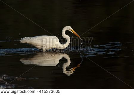 Isolated Image Of A Great Egret (adrea Alba) Also Known As Great White Heron Walking In Shallow Wate
