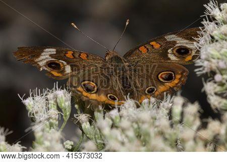 Close Up Macro Lens Image Of A Common Buckeye Butterfly (junonia Coenia) On Common Boneset Wild Flow