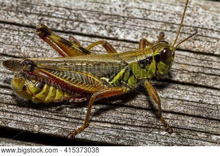 A Close Up Macro Lens Image Of A Red Legged Grasshopper (melanoplus Femurrubrum) On A Wooden Plank.