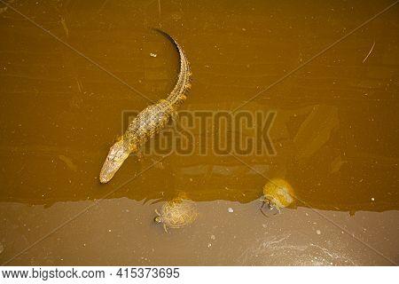 Habitat Destruction In Sampit River, Georgetown, South Carolina: An Alligator And Two Turtles Are Se