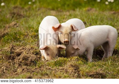 A Close Up Image Showing Three Little Pigs (piglets)  Grazing In A Pasture Together. Two Of Them Are