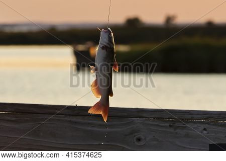 Catch And Release Fishing Is A Common Practice Among Fishermen In Maryland. A Catfish Just Caught Is