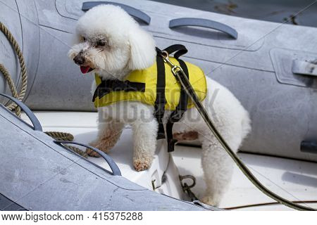 Isolated Close Up Picture Of A Cute West Highland White Terrier Dog On An Inflatable Boat. The Dog I