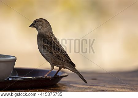 Close Up Isolated Image Of A Wild Sparrow Landing On The Rim Of A Breakfast Plate On A Wooden Table.