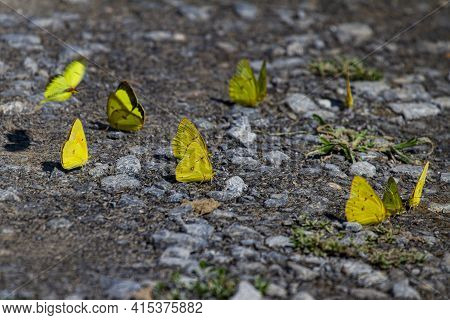 Numerous Clouded Sulphur Butterflies (colias Philodice) Also Known As Clouded Yellows Are On Gravel