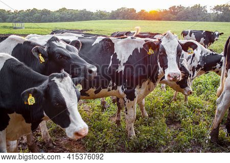Close Up Look At A Herd Of Holstein Cattle Grazing At A Pasture At Sunset. Holstein Cows Have Ear Ta