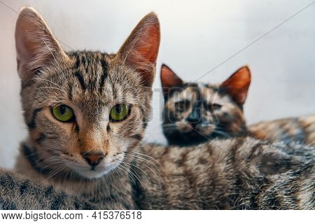 Green-eyed Pussycat Looks At Camera. Colored Cat Lies Next To Tabby Cat. Two Pets On White Backgroun