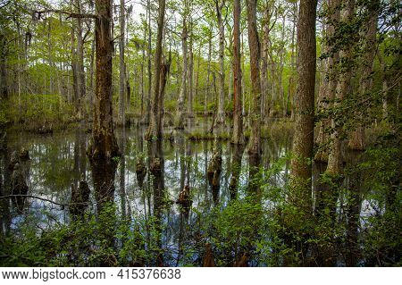 Tree Trunks Stemming Out Of The Bald Cypress Swamp In The First Landing State Park Of Virginia. This
