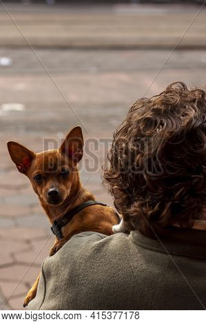 A Pointy Ear Portuguese Podengo Dog Is Gazing Over The Shoulder Of A Pet Keeper Sitting At A Cafe In