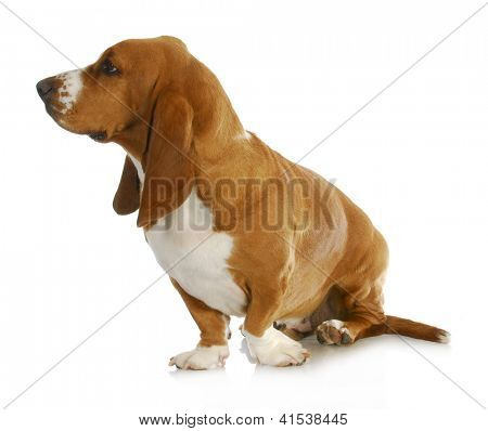 basset hound looking off to the side isolated on white background poster