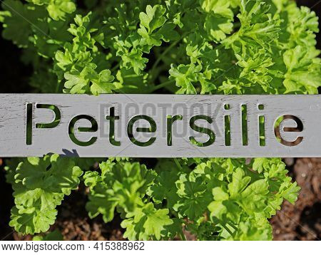 Fresh Green Parsley Plant With Metal Sign And The German Word Petersilie