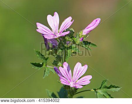 Common Mallow Plant With Pink Flowers, Malva Sylvestris