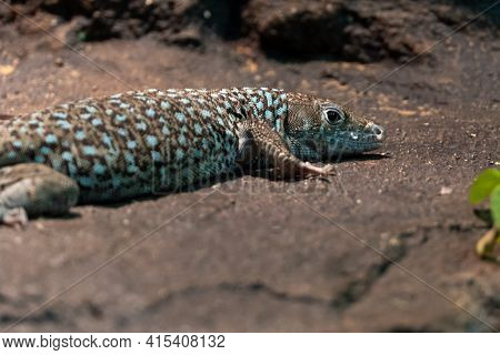 Jayakar's Lizard Close Up (omanosaura Jayakari)a Green Middle Eastern Lizard Sitting In The Rocks At