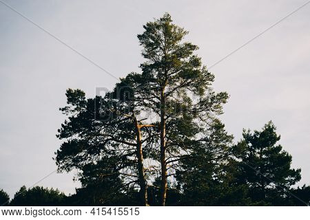 Crown Of Coniferous Tree With Light Blue Clear Sky. Main Tribes Are Illuminated By Orange Rays Of Se