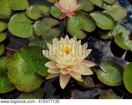 Beautiful Waterlily Flower, Yellow Lotus Blooming On Pond