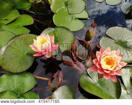 Beautiful Waterlily Flower, Lotus Blooming On Pond