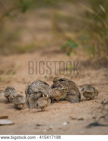 Grey Francolin Or Grey Partridge Or Francolinus Pondicerianus Family With Chicks Or Babies Walking T