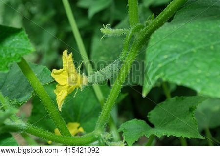 Cucumber (latin: Cucumis Sativus) In Vegetable Garden. Yellow Flower And Green Cucumber. Cucumber In