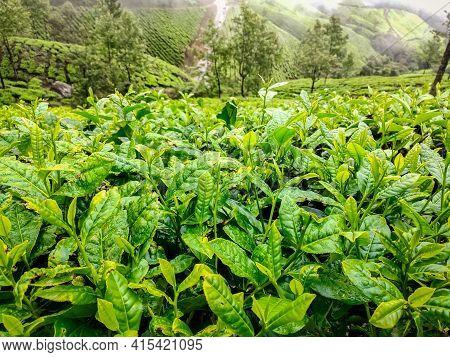 Kodaikalan Tea Plantation. Best Tea Plants In Kodaikalan, Tamilnadu, India.