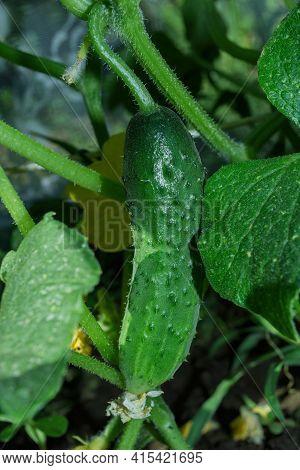 Cucumber (latin: Cucumis Sativus) - An Annual Herbaceous Plant Of The Cucurbitaceae Family, Vegetabl