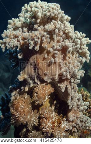 Two Types Of Soft Corals: Sarcophyton-in The Upper Part Of The Coral Block. It Looks Like A Sponge,