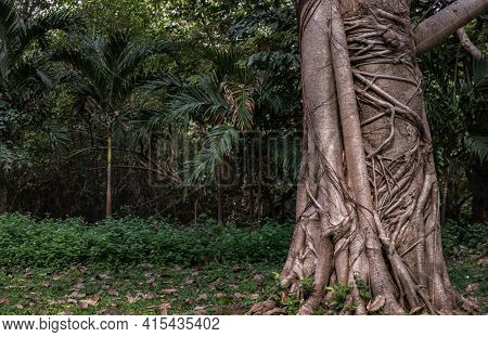 Tree Roots Branched Together Natural Forest Background. Many Roots Is On Around The Tree Trunk, Sele