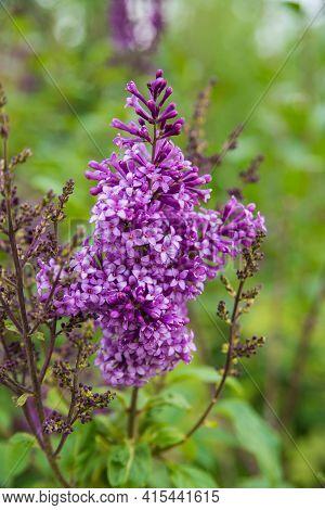 Lilac Bush. Purple Lilac Bush On A Green Spring Leafy Background