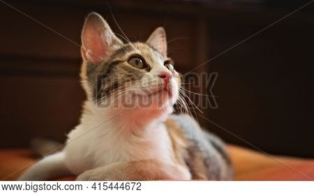 Gorgeous Kitten Looking Up With Curiosity. Studio Shot, Close Up.