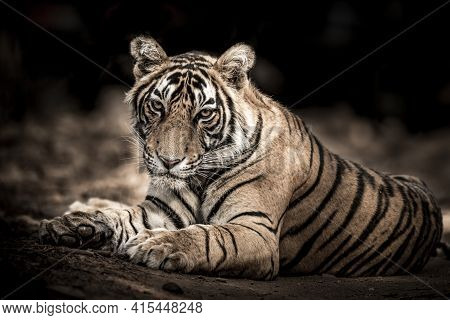 Ranthambore Wild Male Bengal Tiger Extreme Close Up Fine Art Image Or Portrait At Ranthambore Nation