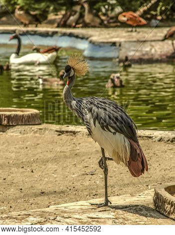 Crested Heron Standing Resting On One Leg On The Bank Of The Pond In The Reserve